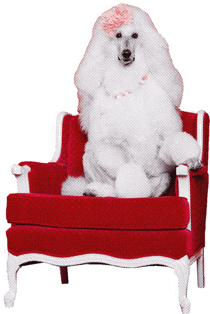 A primped poodle with a bow in its hair sitting in a chair like a human.